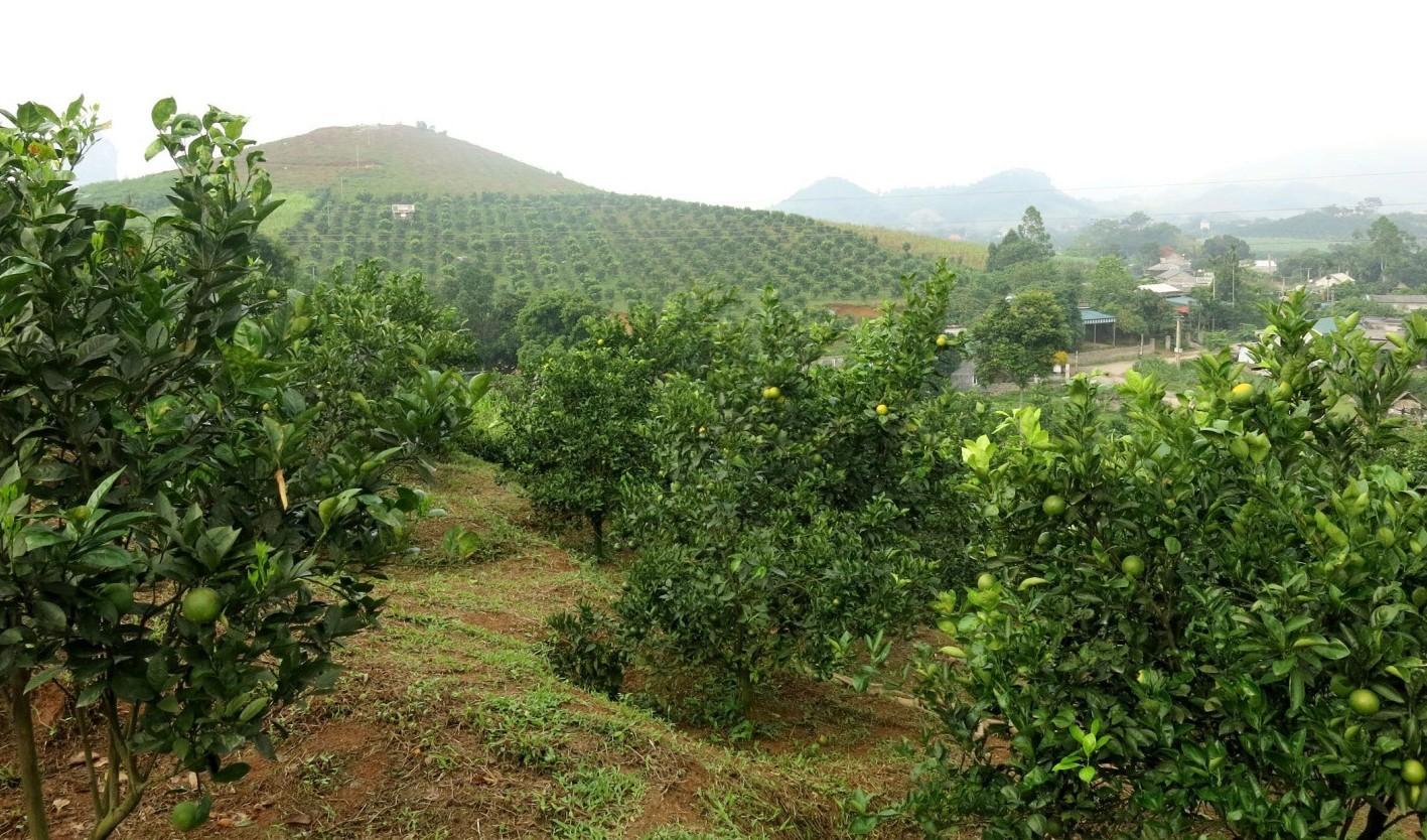 Appelsinplantage i Thu Phong- dalen.