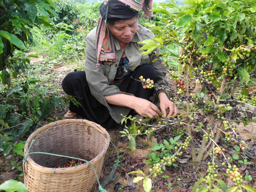 Arafa,Coffe farmer in Son La 2