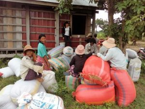 Trapang Run Village- People return paddy rice.1 (2),448x336